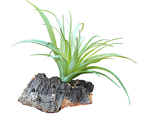Artificial Vivarium Air plant Tillandsia